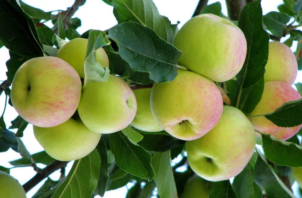 Kashmir's apple crop up 5%