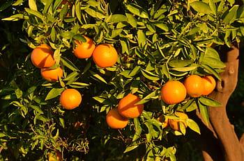 Spanish citrus prices normalise