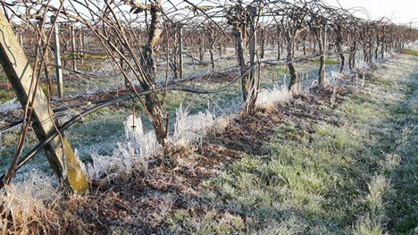 Italian crops lost to frost