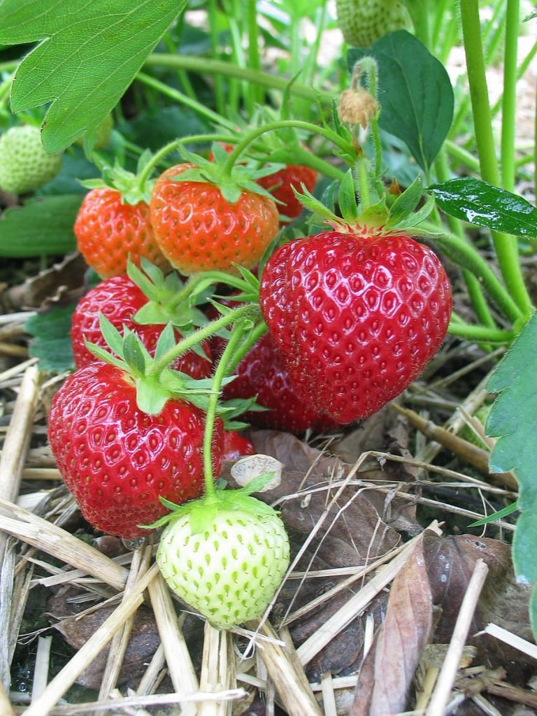 Fall in Polish strawberry prices amidst uncertainty