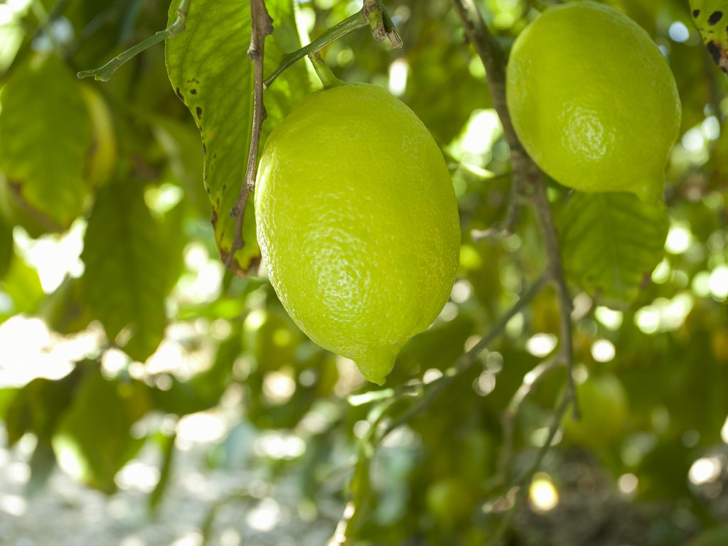 The Community Plant Variety Office (CPVO) grants protection for the Summer Prim lemon