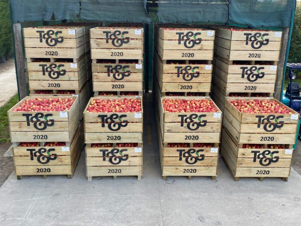 T&G Global: 2020 apple harvest in full swing, © T&G Global