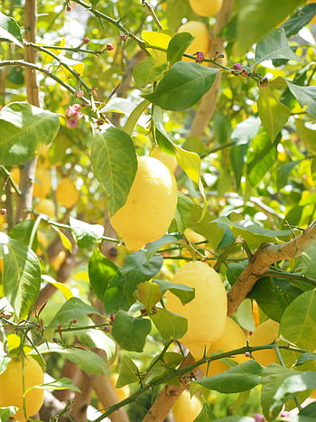 Blocks on exports of Turkey's lemons amid COVID-19