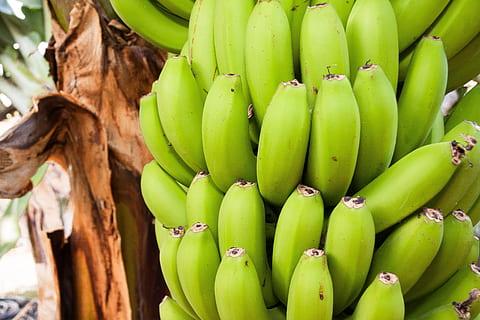 Ecuador's banana exports increase despite liquidity issues