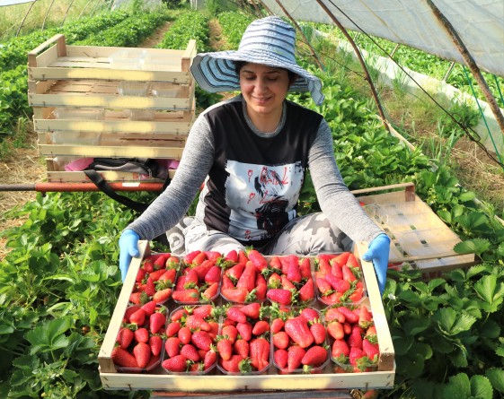 Lycia®CIVNB557* and Sibilla*: two CIV strawberries that make the difference in Romagna