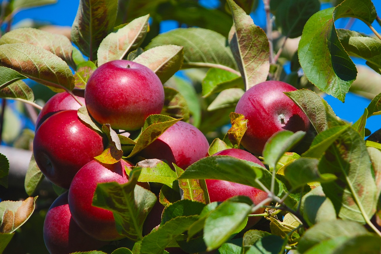 Record exports predicted for New Zealand apples