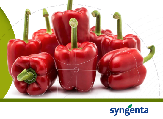 Syngenta peppers, towards a sustainable horizon