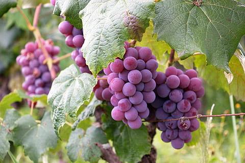 Chile's grape exports remain stable despite drought