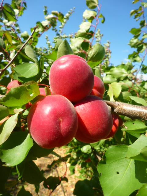 Carmingo®Primassi (cov): The early apricot variety with taste! Successful varietal presentations in Roussillon (France)