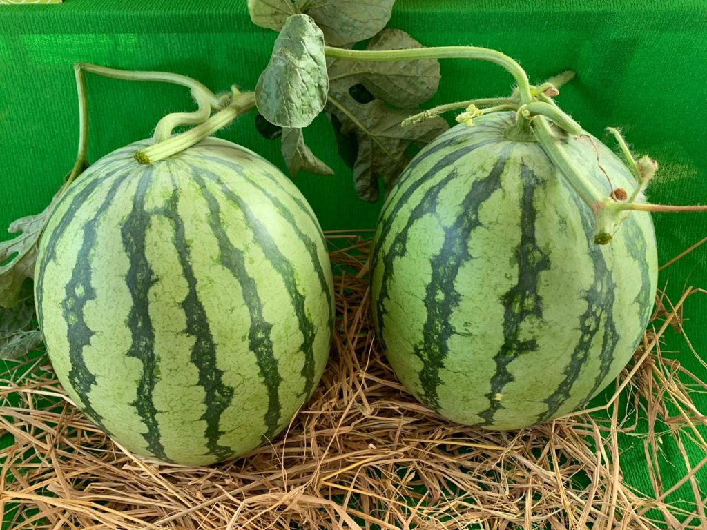 Happy family – 1st Commercial seedless Watermelon hitting the Indian Market!