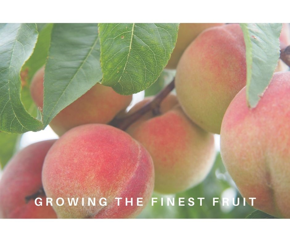 CONSORFRUT: Stone fruit production and export. Between our biggest strengths