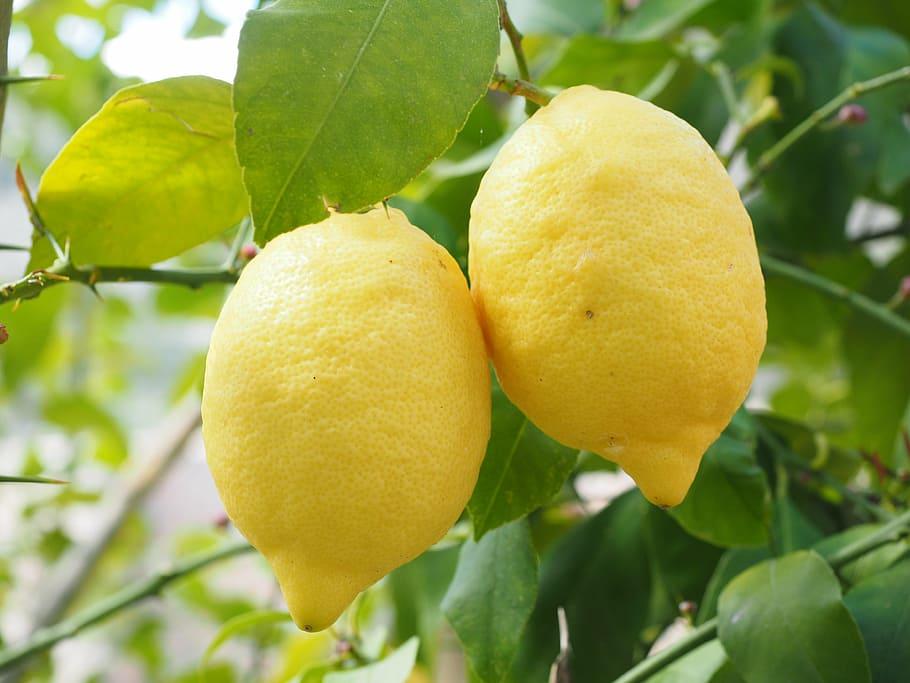Reduced EU lemon crop in 2019/20 despite larger growing area