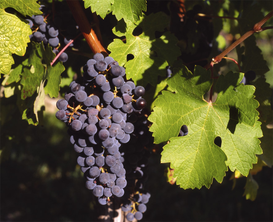 South Korea becomes major grape exporter while Chinese exports recover