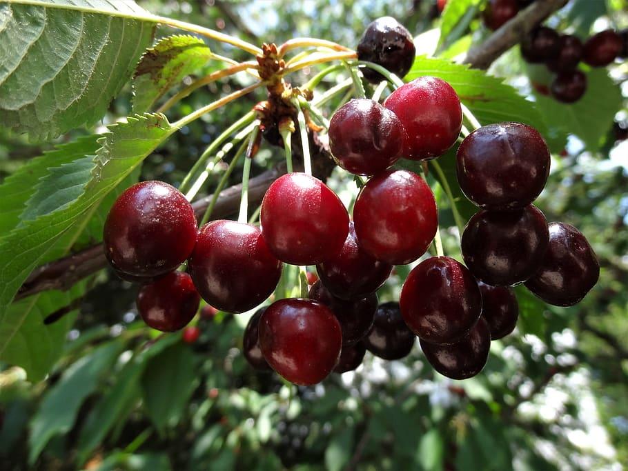Japan's cherry crop rebounds