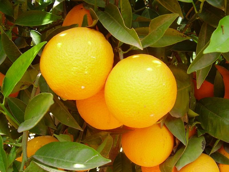 EDYPRO's new biotechnological solution increases fruit size, weight and uniformity