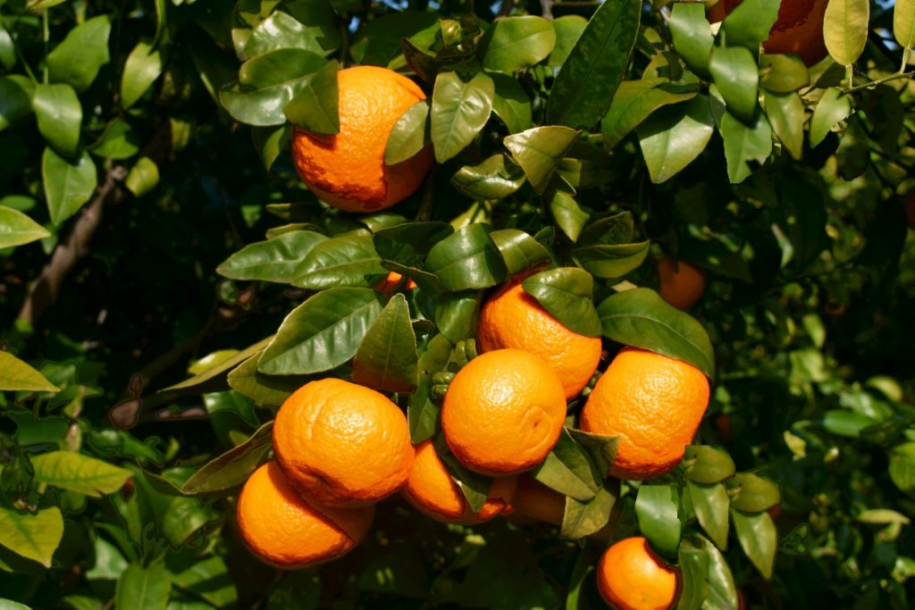 Another year of booming sales for Orri tangerine