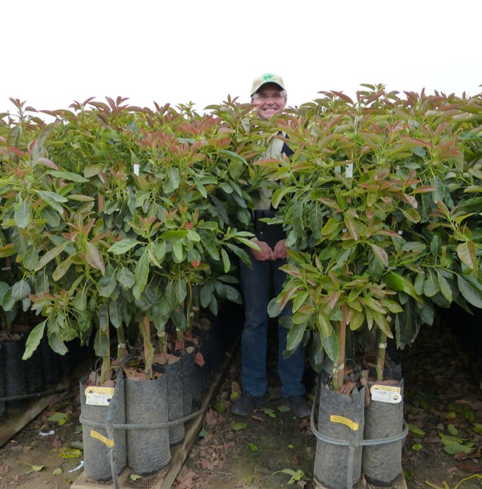 Westfalia launches two new co-owned avocado rootstocks from its breeding and selection programme