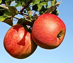 High European apple prices