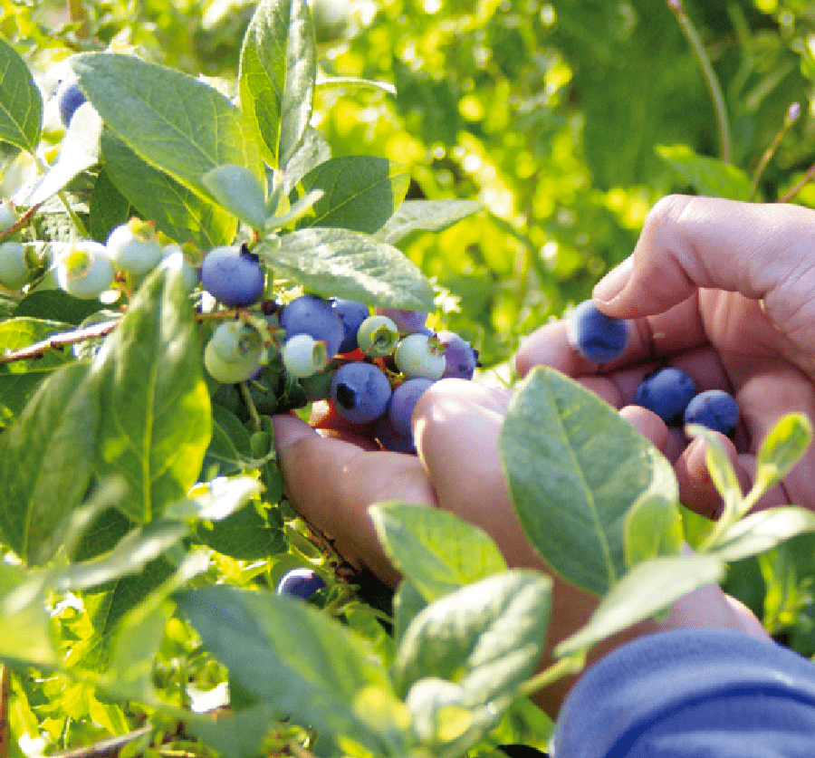 Chile diversifies blueberry markets