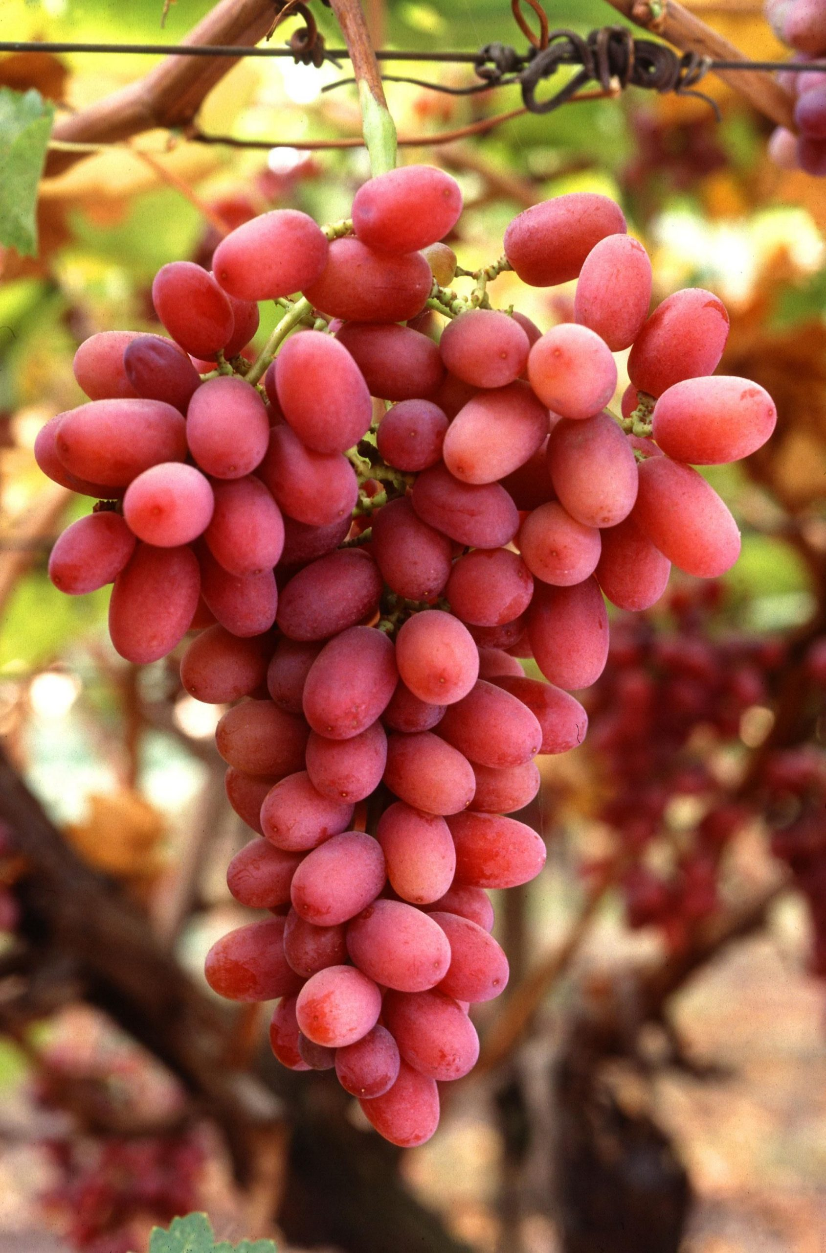 Southern Hemisphere grapes withstand impact of pandemic
