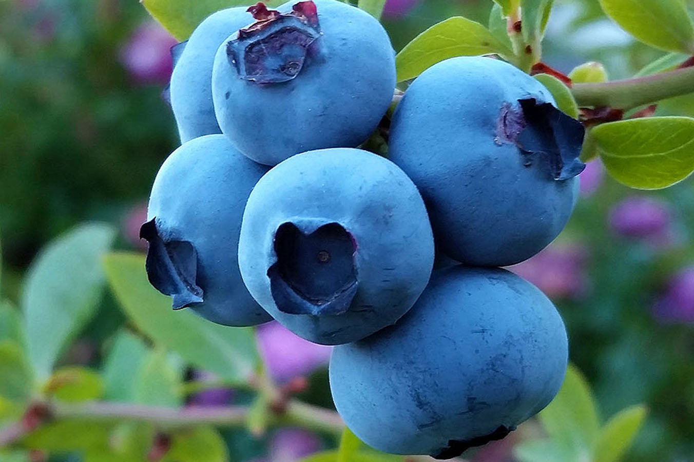 The webinar Blueberries in Easter Europe, long-term blueberry market outlook for the Eastern Europe