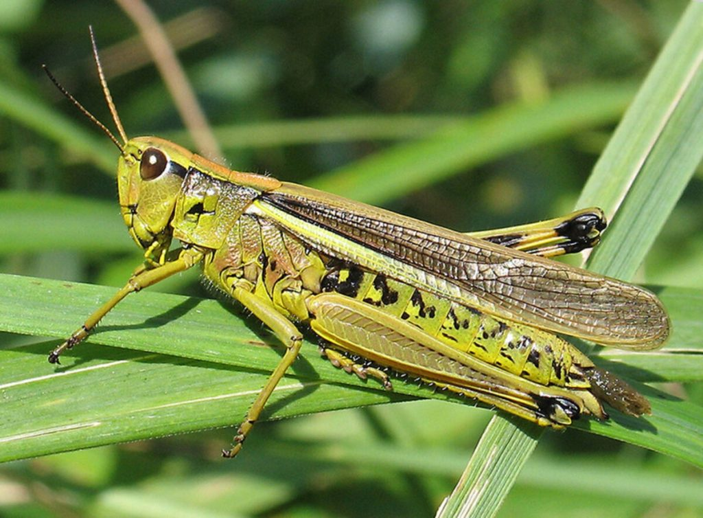 Struggle against the locust in Central Asia, successful initiatives