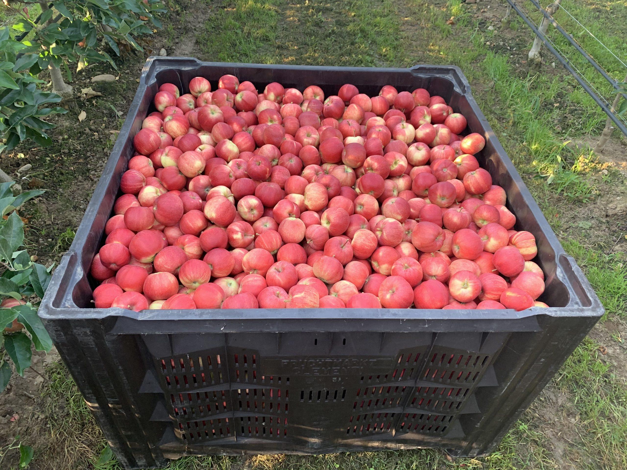 European apple leaders set sights on Asia