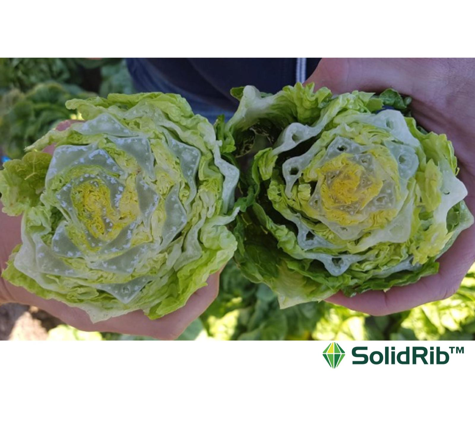 """Syngenta Vegetable Seeds new «mini-berg» and """"solid-ribs"""" romaines"""