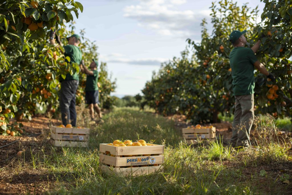 Spanish kaki sector faces difficult 2020 season