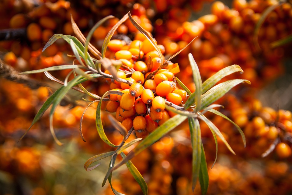 Sea-buckthorn (hippophae), a new niche berry fore Ukrainian producers