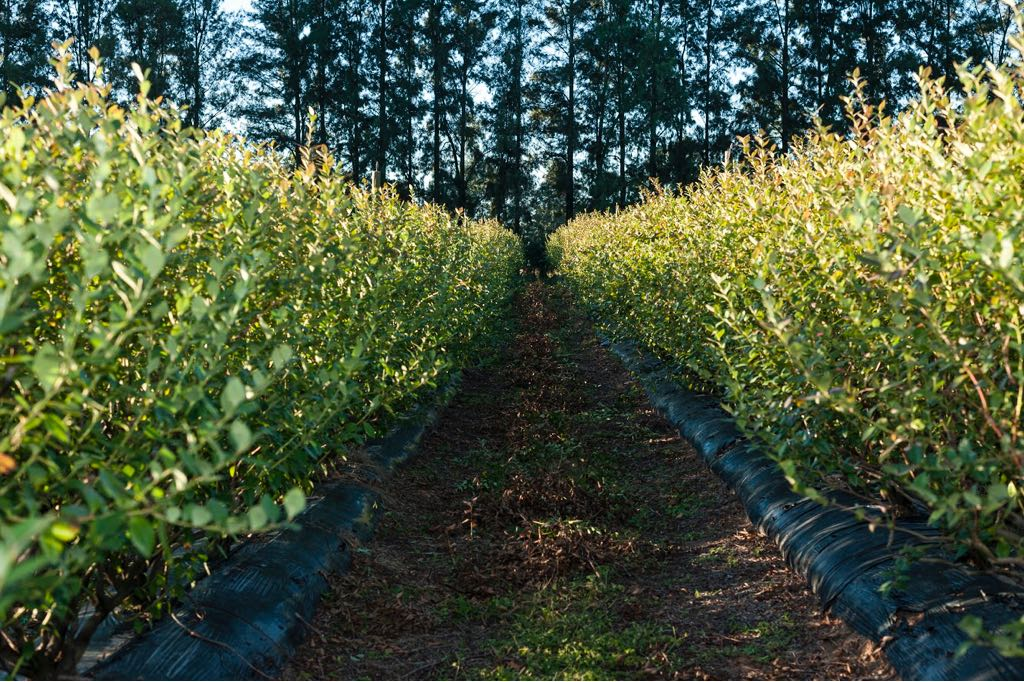 Argentine exports of fresh organic blueberries up 70% in 2019