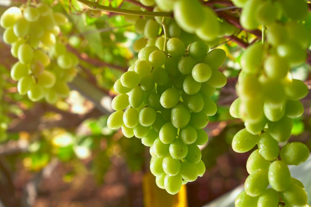 The Peruvian grape season begins with prospects for growth in exports of premium varieties