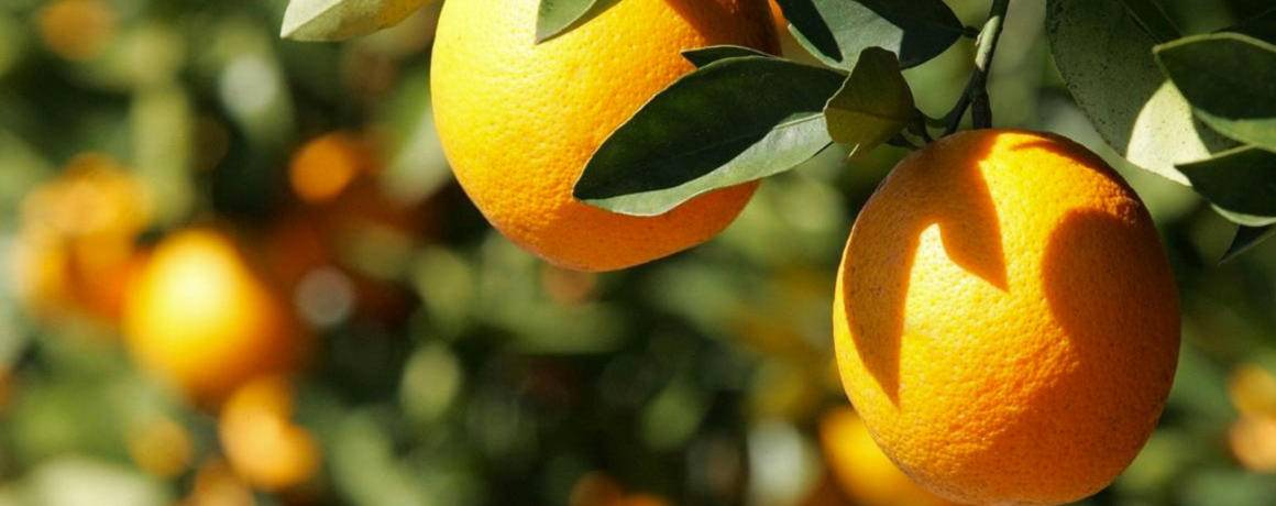 Rise in South African grapefruit exports expected