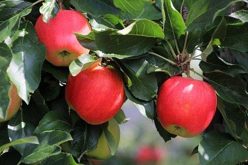 Bulgaria's apple crop falls 13%