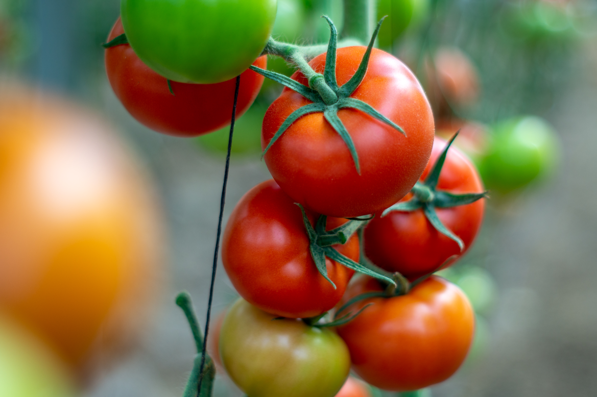 Yuksel Seeds presents Azarbe, its new variety of loose tomato