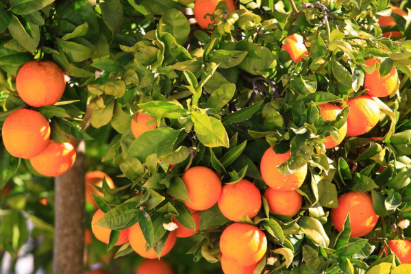 Israeli citrus targets Asian market