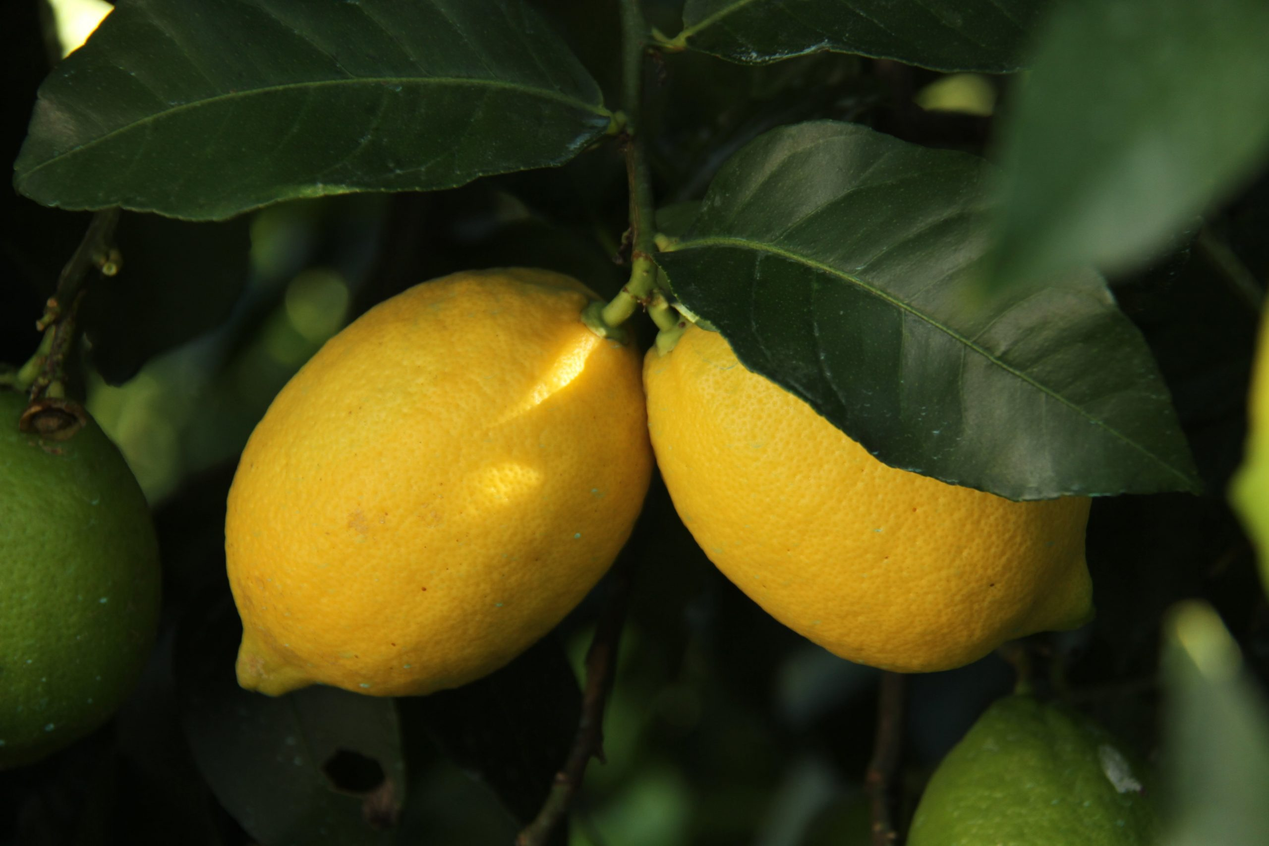 Lower citrus imports to Japan in 2020/21 as domestic crop recovers