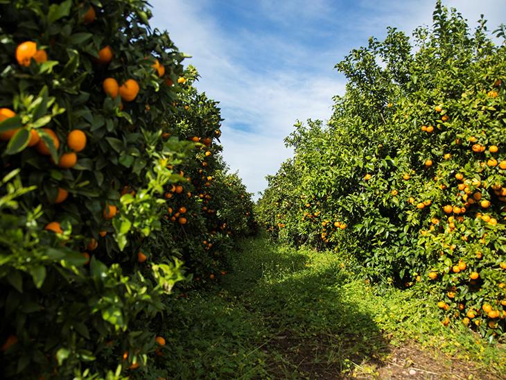 60,000 tons of Orri mandarins forecast for 2020-2021 season © Orri Running Committee