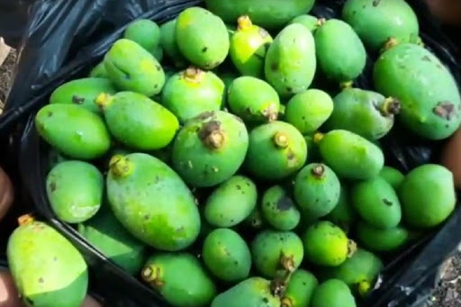 Gujarat's saffron mangoes attacked by mystery fungus