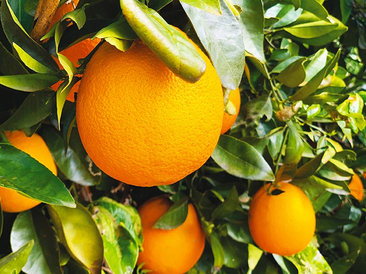 Stable Costa Rican orange crop © Eurofresh Distribution