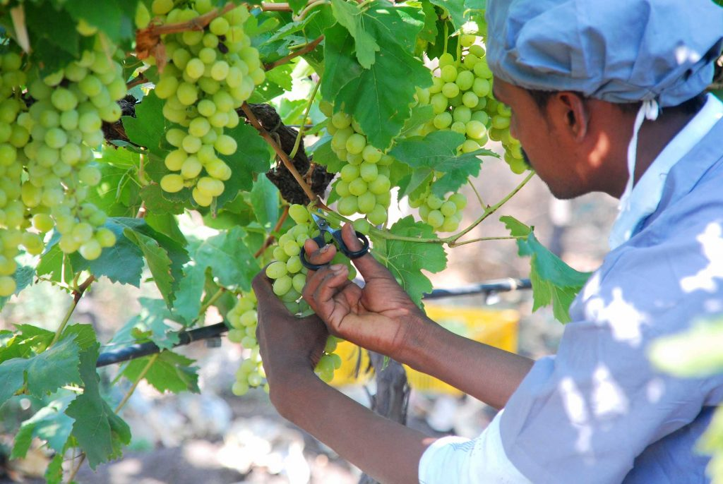 Heavy rains severely damage Indian grape crops