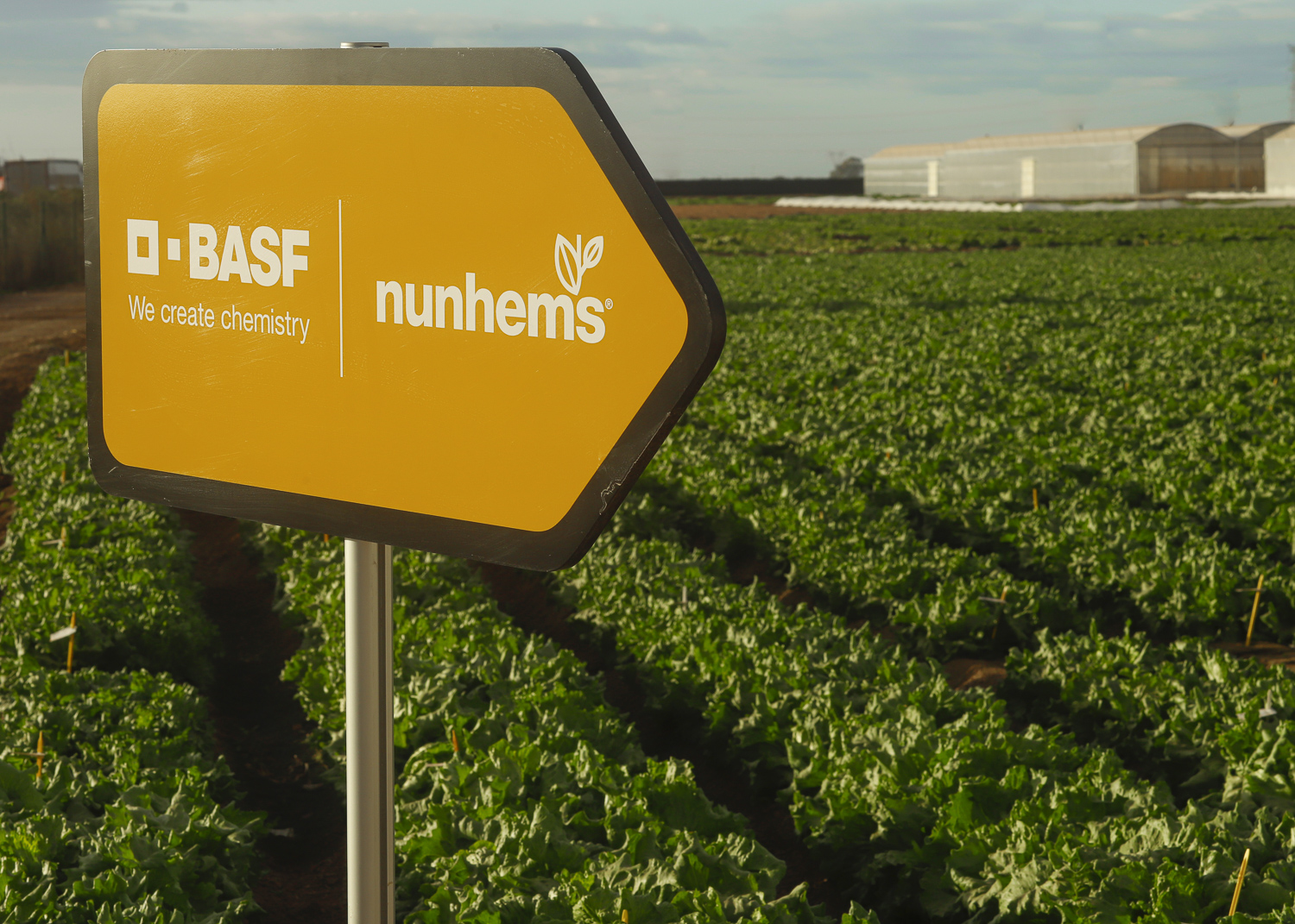 BASF enlarges its lettuce portfolio with more resistant varieties to cover the entire cycle