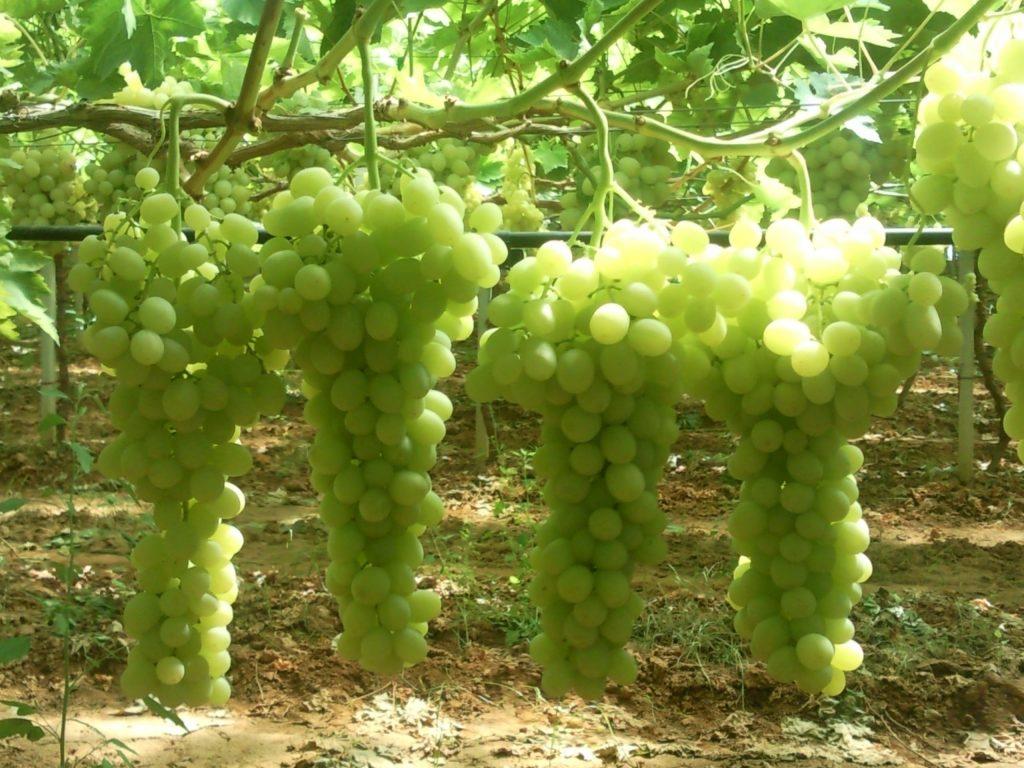 EU grape crop shrinks