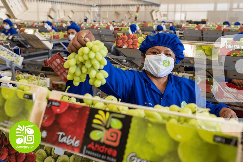 Migiva Group Differentiates Premium Table Grape Offer