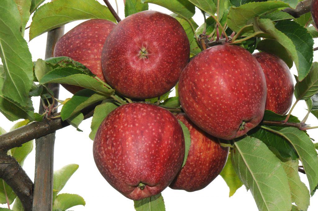 WAPA presents annual Southern Hemisphere apple and pear crop forecast