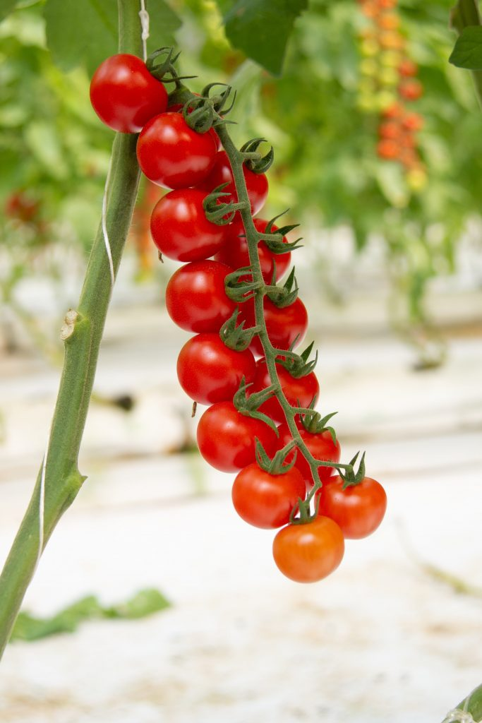 Durillo: Bright red colour and excellent firmness for the Top Seeds International cherry tomato