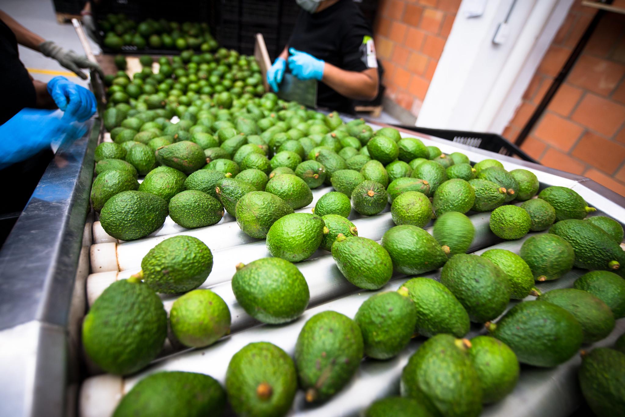 South Korea gives green light to imports of Colombian avocado