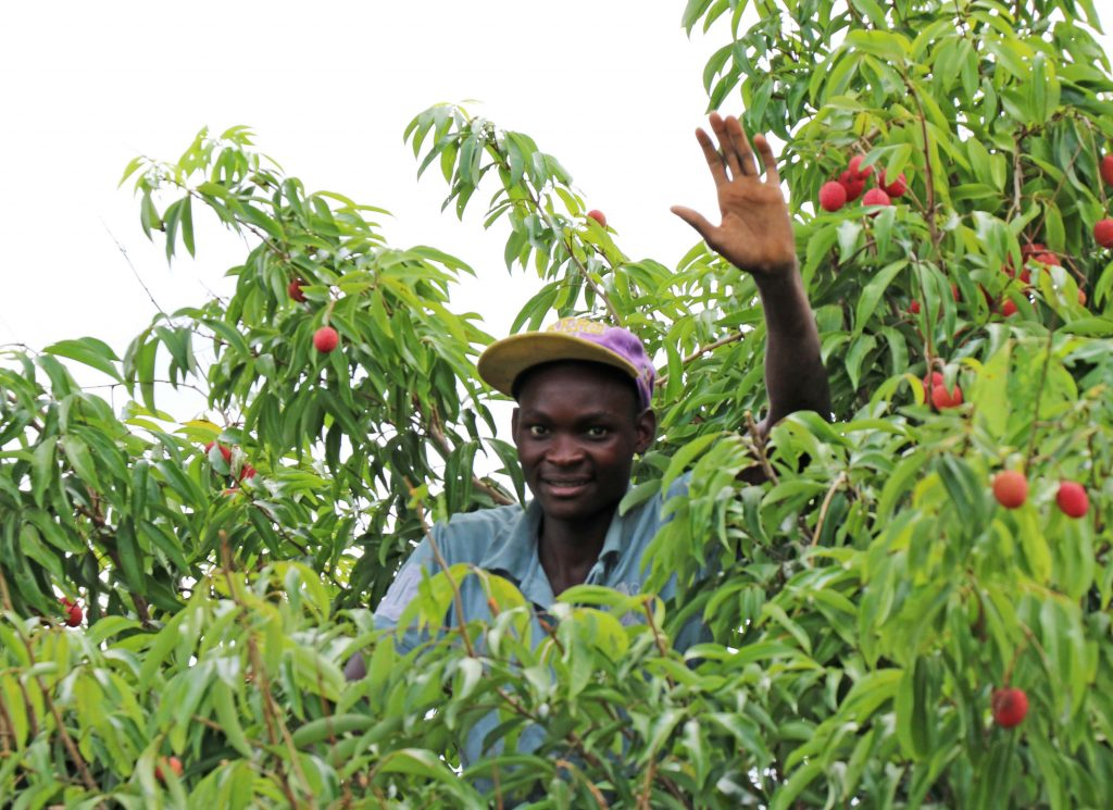 Westfalia's Mozambican litchi programme brings the sweet taste of success