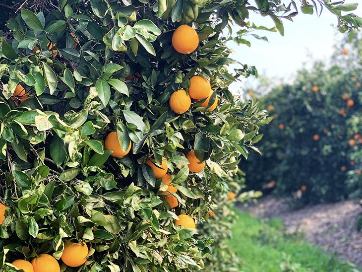 Another record year for South Africa's citrus exports