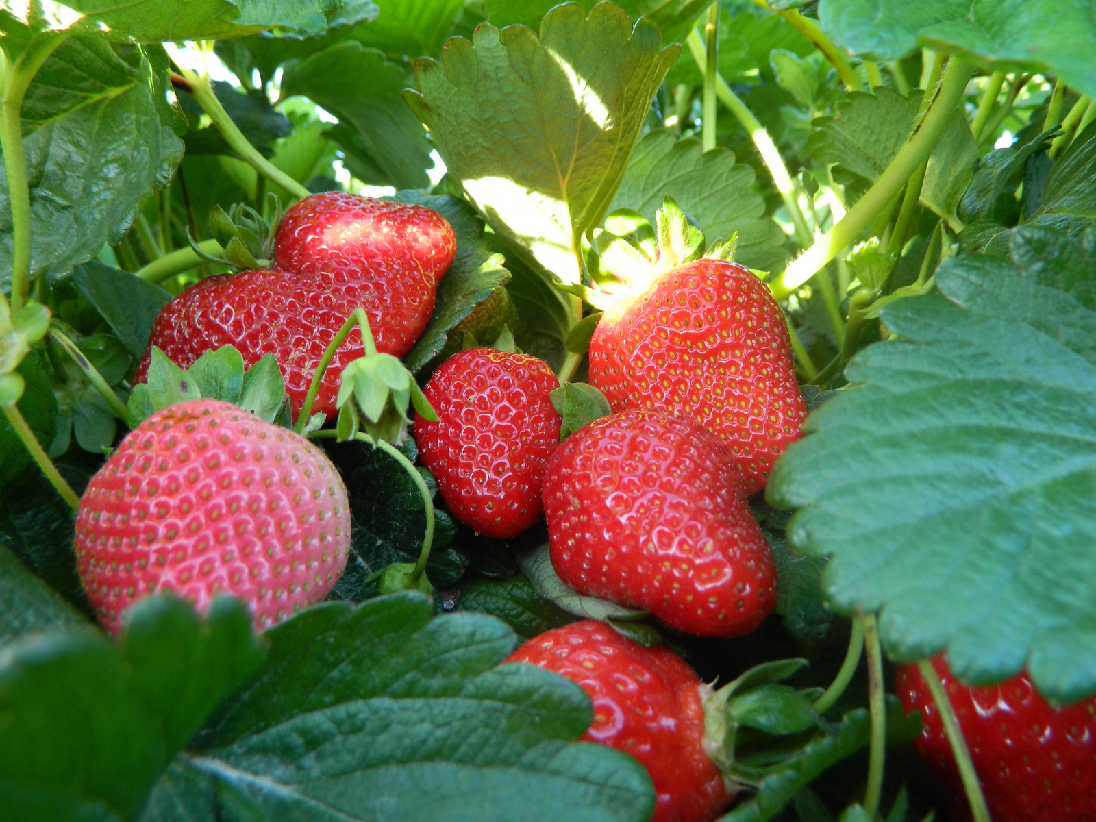 Strawberry prices stop falling at last